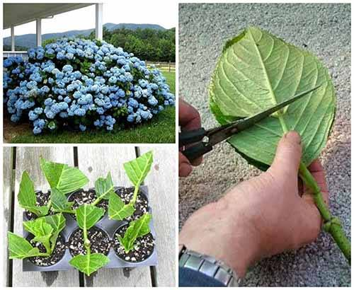 How to Grow Hydrangea from Cuttings